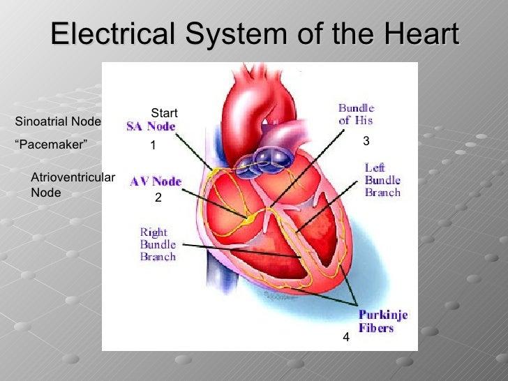 The heart and cardiac cycle