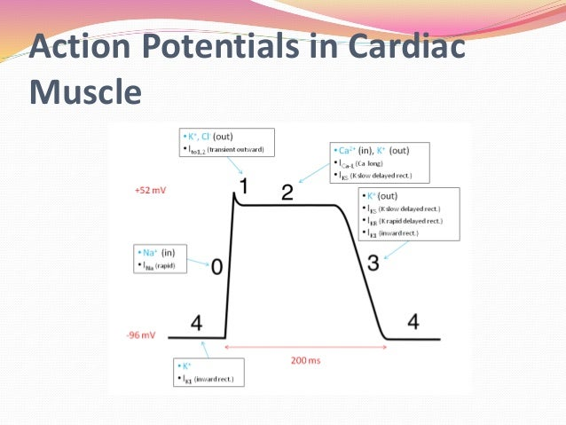 The heart as a pump and function of the heart valves action potentials in cardiac muscle ccuart Image collections