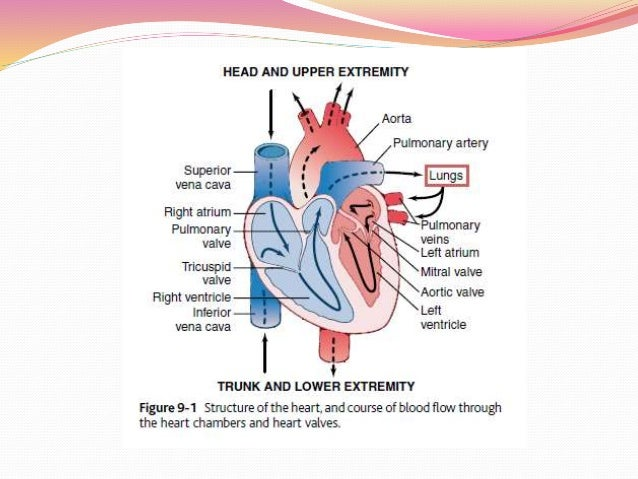 how the heart functions as a pump The circulatory system consists of the heart, blood vessels and blood itself its function is three-fold transport, temperature control and protection transpo.