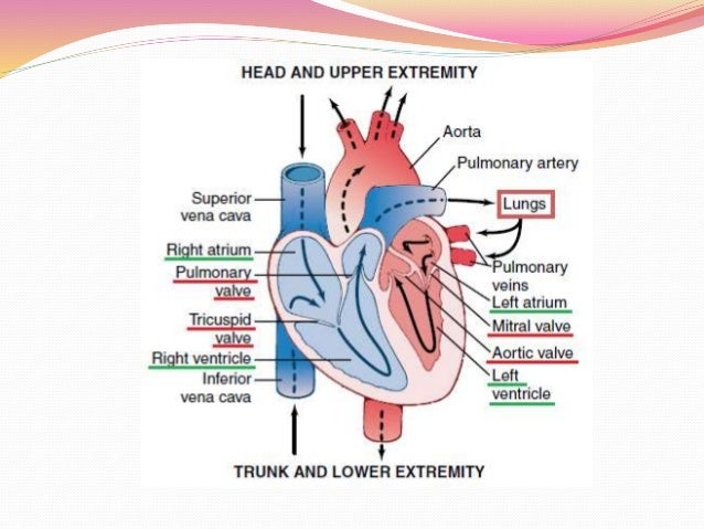 The Heart As A Pump And Function Of The Heart Valves