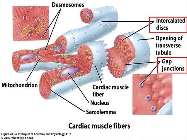 the myocardium, Muscles
