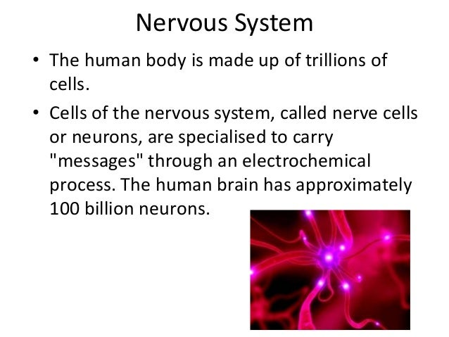 • Neurons have specialised projections called  dendrites and axons. Dendrites bring  information to the cell body and axon...