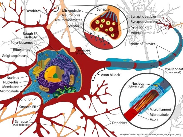 • Communication of information between  neurons is accomplished by the movement of  chemicals across a small gap called th...
