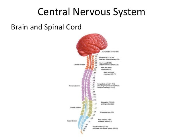 Peripheral Nervous System  From Spinal cord to the rest of your body.  www.eplantscience.com
