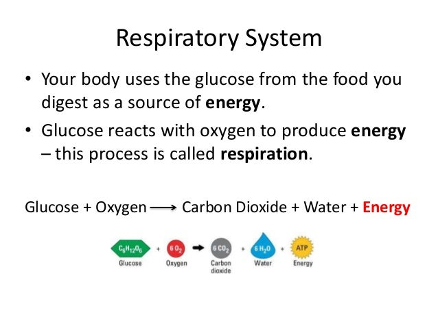 Respiratory System  • Your body uses the glucose from the food you  digest as a source of energy.  • Glucose reacts with o...
