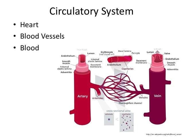 Circulatory System  • Heart  • Blood Vessels  • Blood  http://en.wikipedia.org/wiki/Blood_vessel