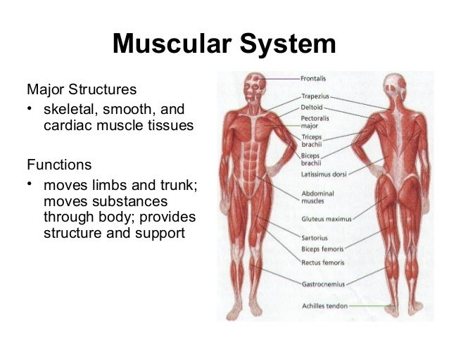 the human body systemsphatmtech, Muscles