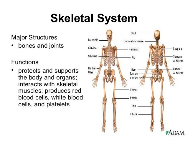the human body systemsphatmtech, Skeleton