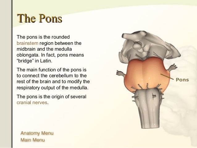 The human brain 25 the ponsthe pons ccuart Image collections