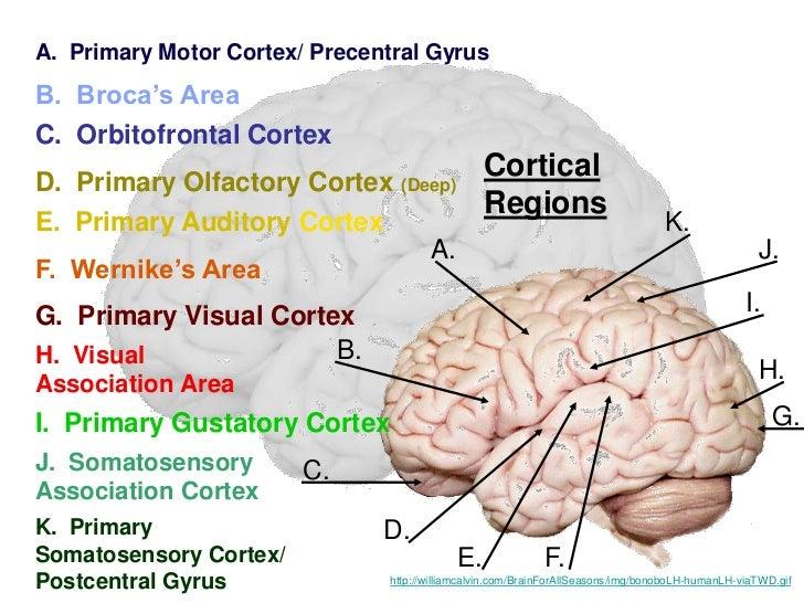 The Human Brain By Tasvir A R Chowdhuryrhslideshare: Primary Smell Cortex Location At Gmaili.net