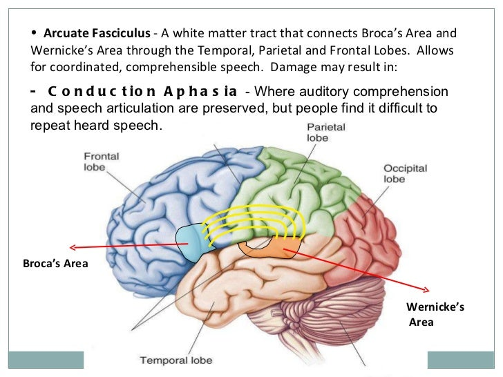 The human brain presentation 12 ccuart