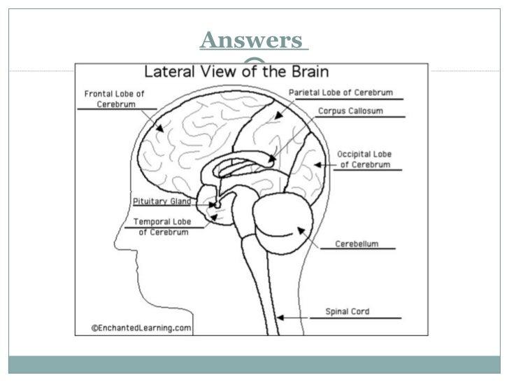 The human brain presentation