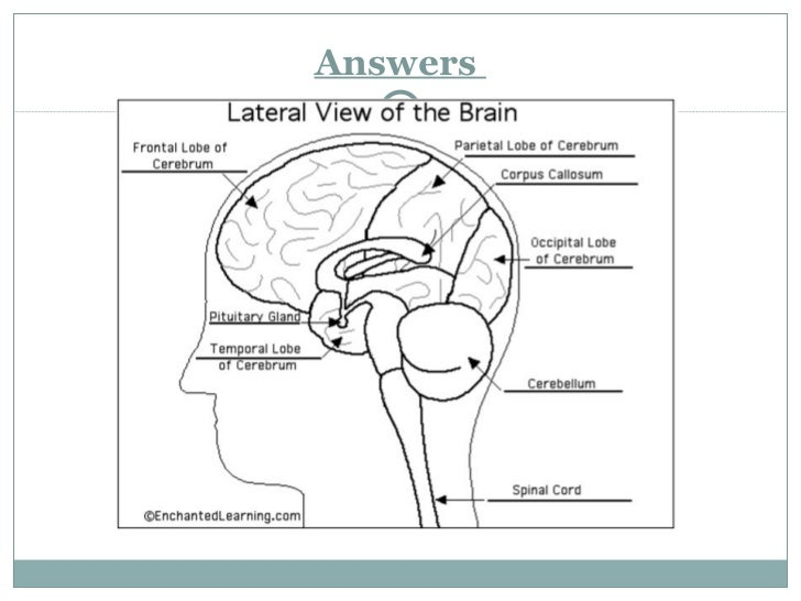 Lateral View Of The Brain Diagram Answers - Trusted Wiring Diagrams •