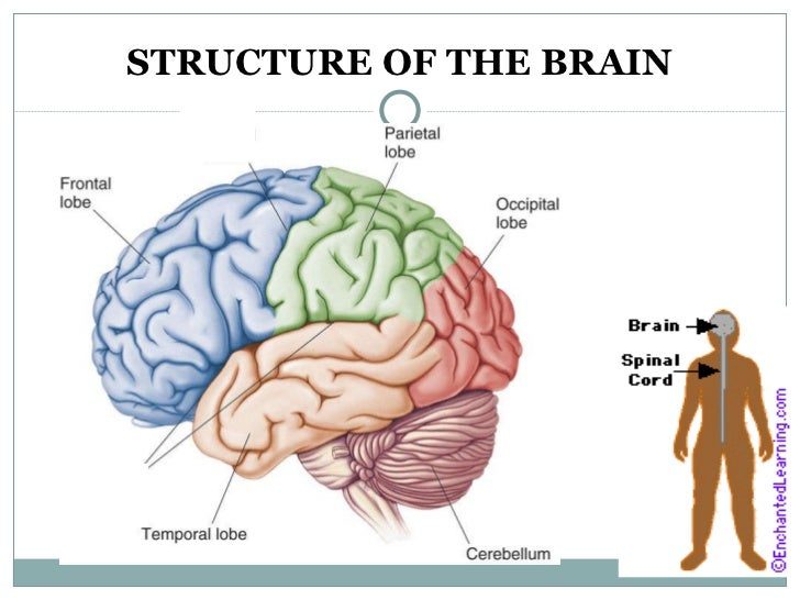 Labelled Brain Diagram Choice Image - human body anatomy