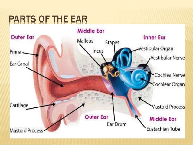 Image result for Parts of the ear.