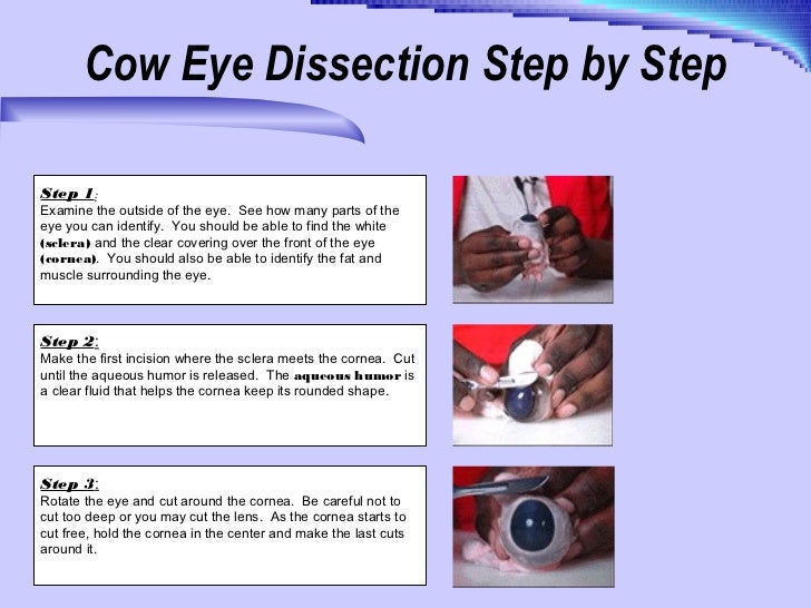 how do cows move their eyes