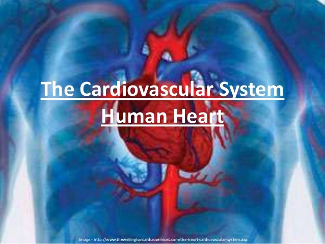 The Cardiovascular System Human Heart Image - http://www.thewellingtoncardiacservices.com/the-heart-cardiovascular-system....