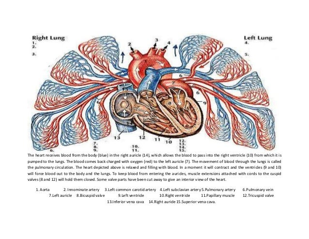 The human heart labeling activity