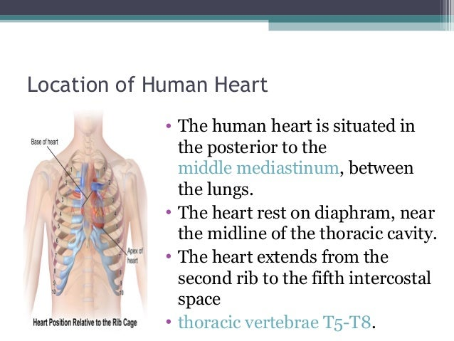 The human heart [recovered]