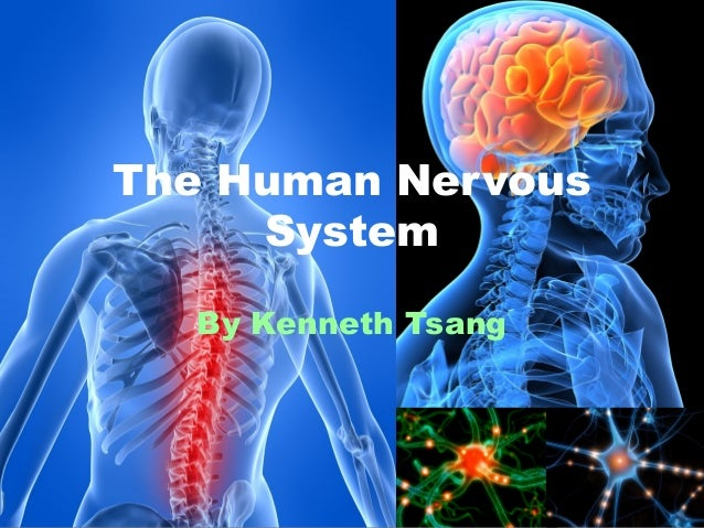 The Human Nervous System By Kenneth Tsang