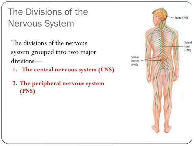 The human nervous system and sense organ 10 the divisions of the nervous system ccuart Images