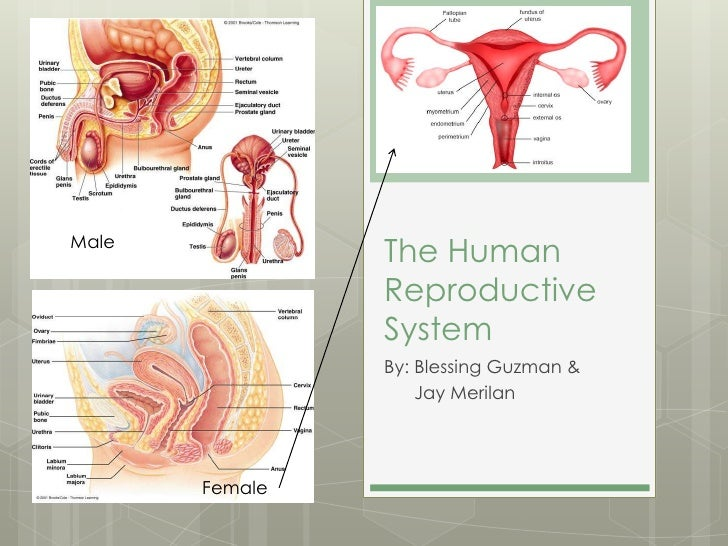 Male                The Human                Reproductive                System                By: Blessing Guzman &      ...