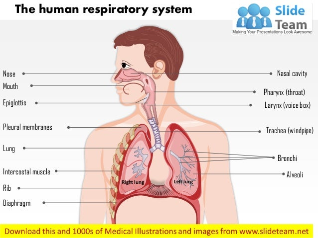 The Human Respiratory System Medical Images For Power Point
