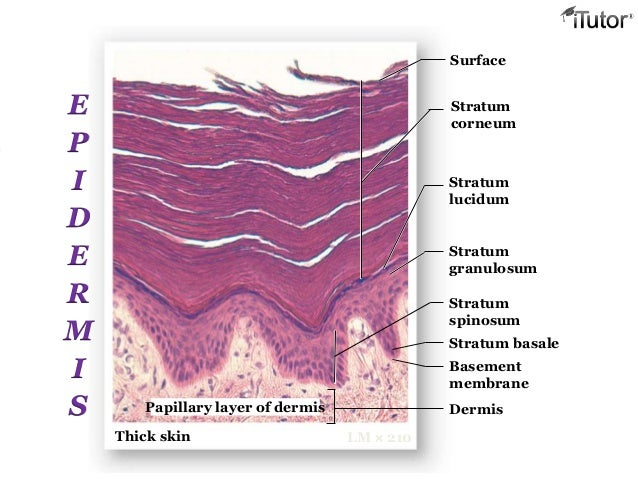 theintegumentarysystem 130515100247-phpapp02, Human Body