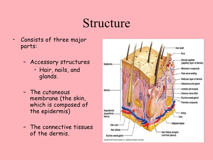 The Integumentary System Bethany, Susan