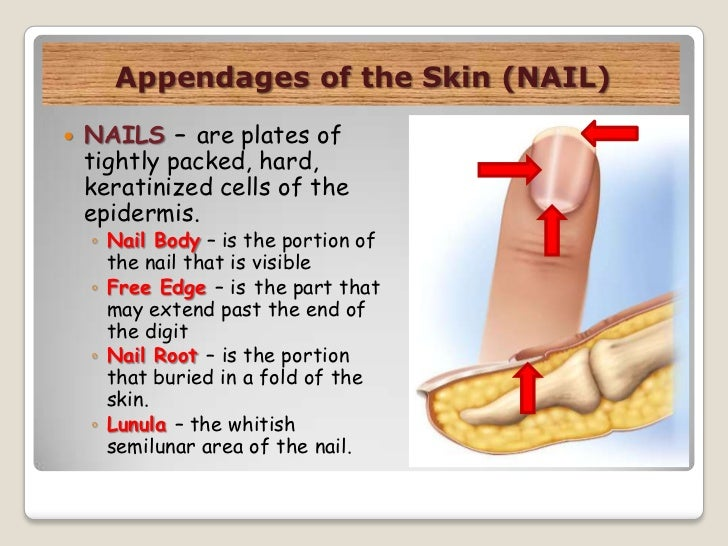 integumentary system parts and functions