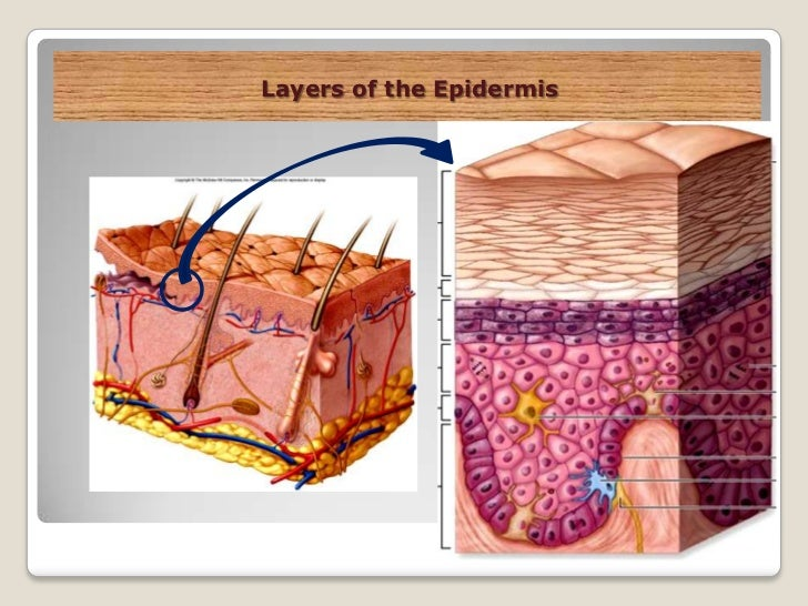 The integumentary system (slide show)