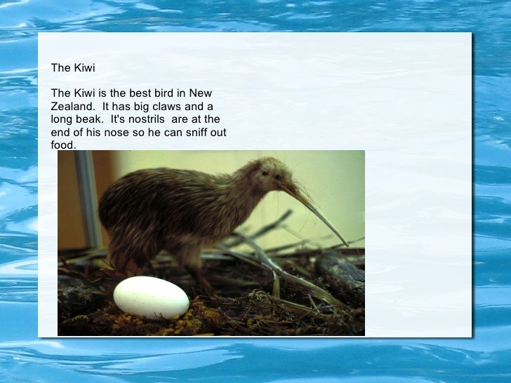 The Kiwi The Kiwi is the best bird in New Zealand.  It has big claws and a long beak.  It's nostrils  are at the end of hi...