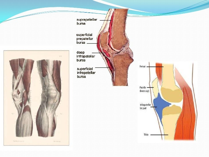 Suprapatellar bursa anatomy gallery human body anatomy the knee and related structures f09 ccuart Image collections