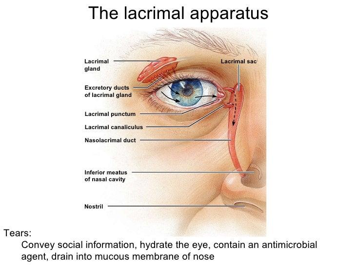 The lacrimal appratus