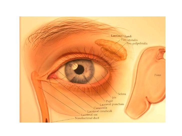 The lacrimal appratus Slide 3