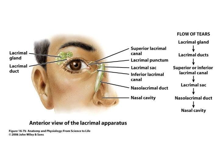Anatomy Of Tears Image Collections Human Body Anatomy