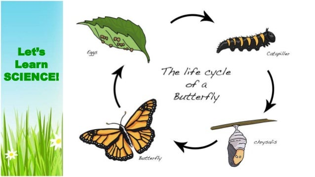 Image result for life cycle of a butterfly