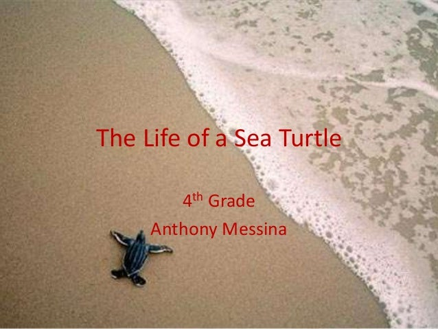 The Life of a Sea Turtle        4th Grade     Anthony Messina