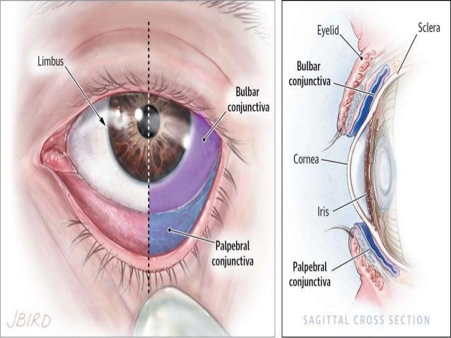 Anatomy of conjuctiva