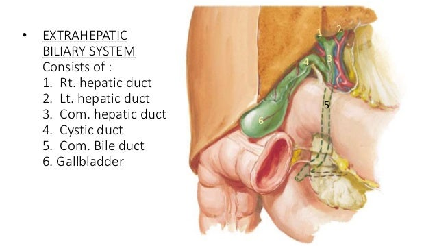 The Anatomy Of The Liver & The biliary system