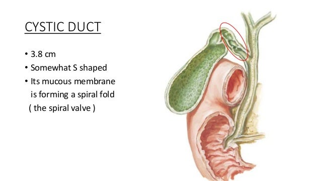 the cystic duct and common bile duct unite to form the common ...