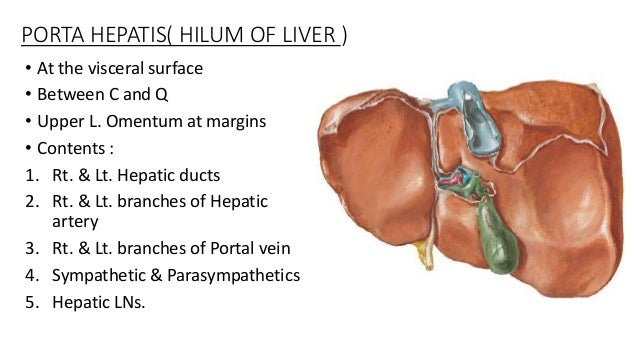 The Anatomy Of The Liver The Biliary System