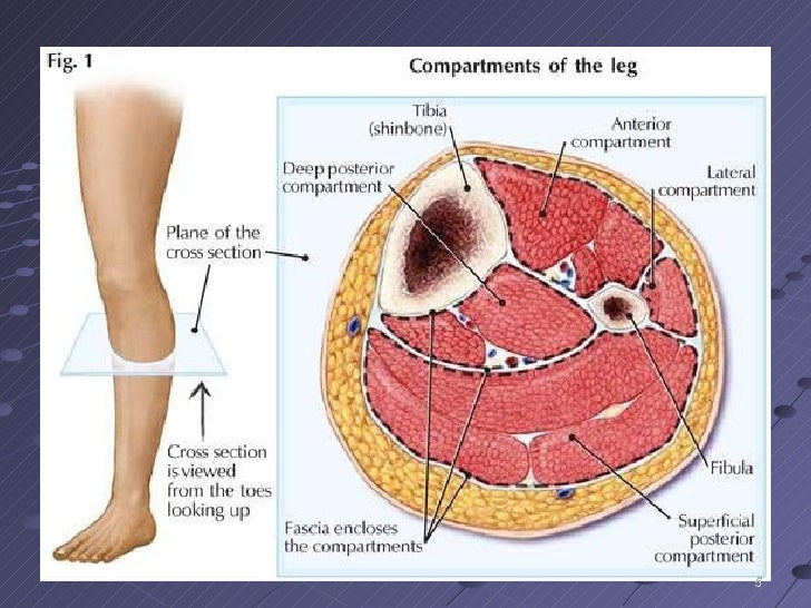 the lower leg and ankle f09, Muscles