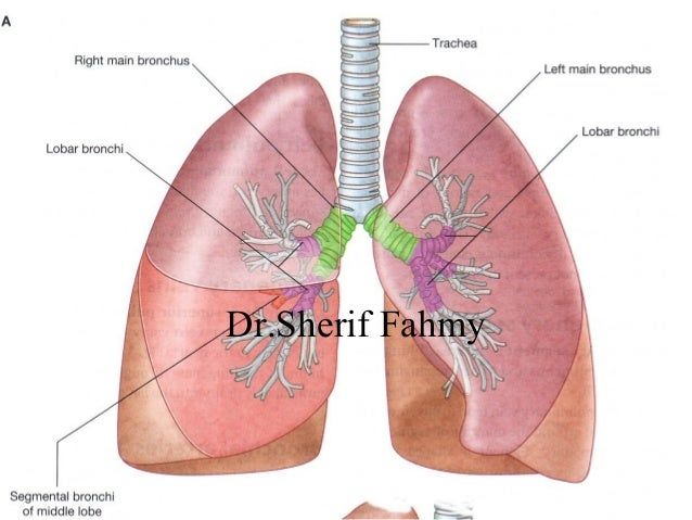 The Lungs Anatomy Of The Thorax