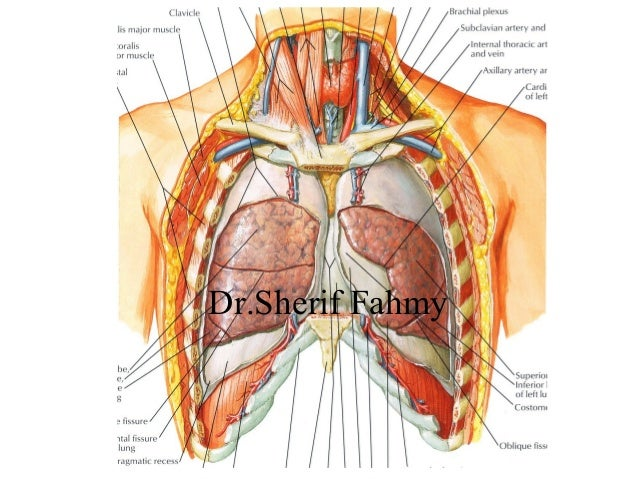 The Lungs (Anatomy of the Thorax)