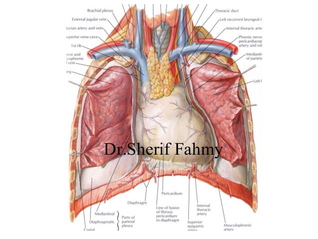 thorax anatomy - Gecce.tackletarts.co