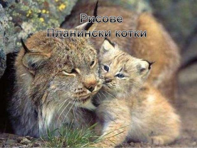Рисът е хищен бозайник от семейство Котки. Рисът е трети по големина хищник в Европа и същевременно най- едрата котка на к...