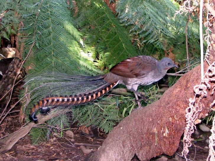 the lyrebird
