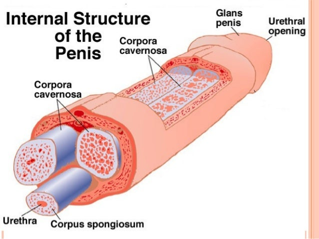 the male reproductive system, Human Body
