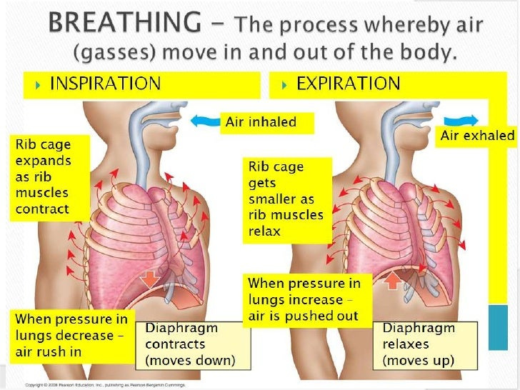 Mechanism of breathing the breathing system ccuart Image collections